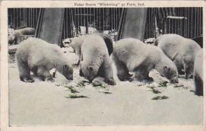Polar Bears Wintering At Peru Indiana 1926