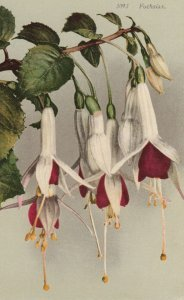 Fuchsias Flowers , 00-10s