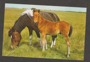Pinto Pony Horse Mare & Foal Color Postcard, Chincoteaque, Assateaque