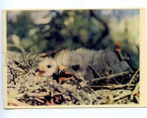 218518 BELARUS Byelaya Vezha Forest brown kites nestlings