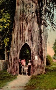 Washington Bicycling Through Giant Tree 1910