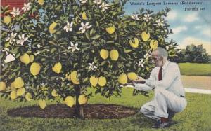 Trees World's Largest Lemons Ponderosa In Florida