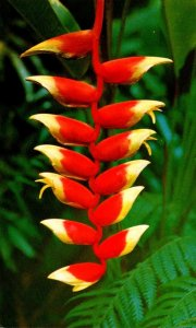 Hawaii Flowers Heliconia Lobster Claw