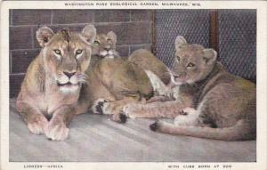 Africa Lions With Cubs Born At Washington Park Zoological Garden Milwaukee Wi...