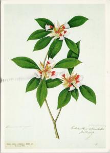 Enkianthus Quinqueflorus Lt Col John Eyre Royal Botanic Gardens Kew Postcard D59