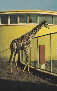 Giraffe at zoo , GRANBY , Quebec , Canada , 40-60s