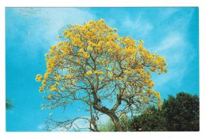 Brazilian Golden Shower Tree Vtg Postcard