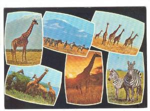 6-Views, Giraffes and Zebras, Kenya, PU-1980