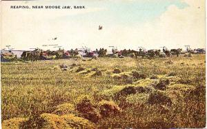 Reaping near Moose Jaw, Sask