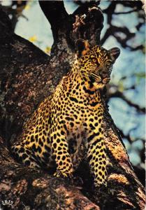 BG20835 african fauna leopard tchad animal animaux