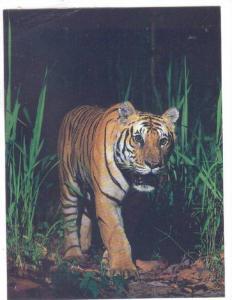 Royal Bengal Tiger , Royal Chitwan Park, Nepal , 50-80s