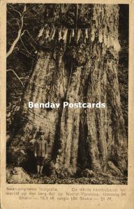 formosa taiwan, Ari Mountain, World's Biggest Camphor Tree (1927)