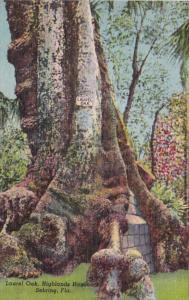 Florida Sebring Laurel Oak 900 Years Old Highland Hammock State Park Curteich