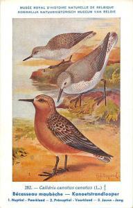 Belgie Museum, Calidris canutus, Red knot, Birds, Hud. Dupond