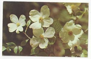 NC Dogwood North Carolina State Flower Vtg Chrome Postcard