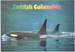 ORCA OR KILLER WHALE OFF VANCOUVER ISLAND BC