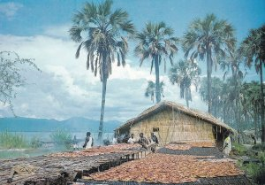 Smoked Dry Fish At Malawi African Postcard