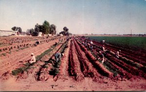 California Carrot Harvest In Rich Imperial Valley Near El Centro