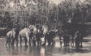 Ceylon Elephants Belong To Kandy Temple Indian Postcard
