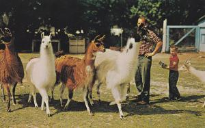 BOWMANVILLE , Ontario, Canada, 50-60s ; Llamas at zoo