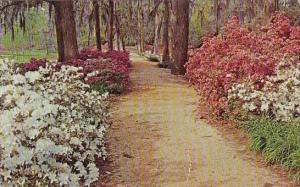 Walkway In Edisto Gardens Orangeburg South Carolina 1971