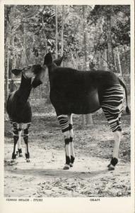 belgian congo, Ituri, Okapi (1950s) Skulina Pegas RPPC