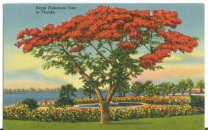 USA, Royal Poinciana Tree in Florida, unused Postcard