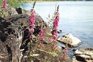 Lythrum Salicaria Finland, Suomi Postal Used Unknown