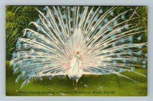 Miami FL-Florida, Peacock Strutting Open Plume Tropical Hobbyland Linen Postcard