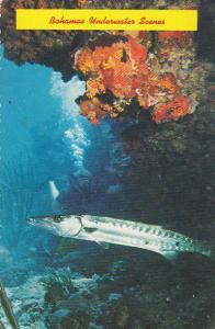 Bahamas Underwater Scenes Great Barracuda Shhyraena barracuda