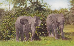 Elephants African Elephants New York Zoological Park