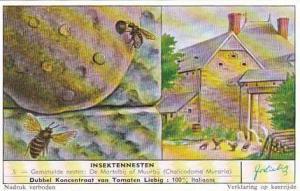 Liebig Trade Card Insect Nests No 5 Chalicodoma Muraria