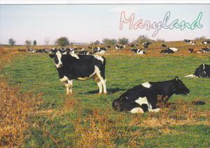 Maryland Typical Dairy Farm With Cows