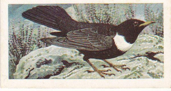 Trade Cards Brooke Bond Wild Birds in Britain No4 Ring Ouzel