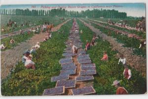 Picking & Drying Raisin Grapes, near Fresno CA