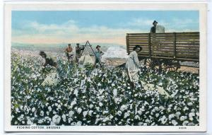 Picking Cotton Farming Arizona 1920s postcard