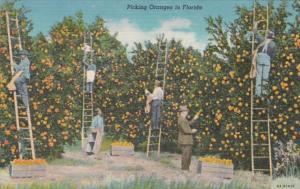 Florida Orange Picking Scene Curteich
