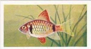 Mitchum Foods Vintage Trade Card Aquarium Fish 1957 2nd Series No 27 Cumming ...