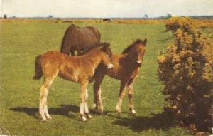 New Forest Ponies Vintage English Salmon Postcard # 1165c