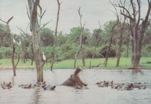 Hippopotamus in Zimbabwe African Postcard