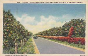 Touring through an Orange Grove, Hedged by beautiful Flame Vine, Florida, 30-40s