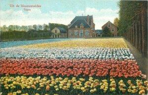 Uit de bloemenvelden Tulpen Netherlands