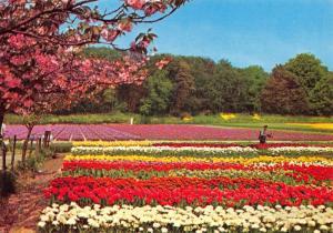 Postcard Holland, Netherlands, Land Of Flowers, Bloemenland, Blumenland #902