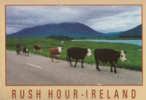 Rush Hour Ireland Cattle Commuters Real Photo Comic Humour Postcard