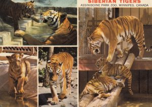 WINNIPEG , Manitoba , Canada , 1979 ; Siberian Tigers