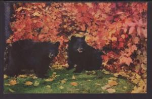 Black Bears Postcard BIN