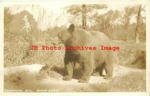 Yosemite National Park, RPPC, Black Bear, 1934 PM, Photo