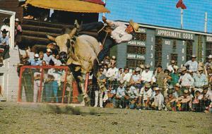 Canada Brahma Bull Riding Calgary Stampede Calgary Alberta