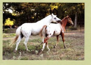 Appaloosa Stallions Two Named Horses Postcard Equine Sabine Bauer Photo