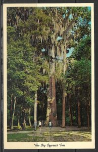 Florida - The Big Cypress Tree - [FL- 510]